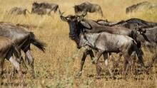 Wildebeeste: Born To Run show