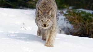 American Wildlife photo