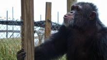 Chimps in Captivity show