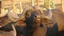 Buffalo Savaşçısı SAYFAYA GİT