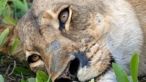 Last Lioness Programma