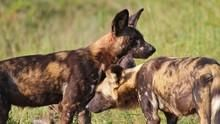 The Pack: Wild Dogs Programma