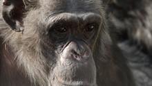 """Πίθηκοι: """"κοντινοί"""" συγγενείς μας? ΔΕΙΤΕ"""