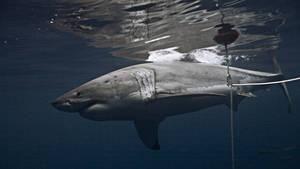 鯊魚冒險家2 Shark Men S2