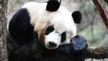 Dev Panda SAYFAYA GİT