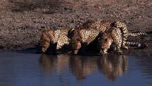 Die Geparden-Gang Programm