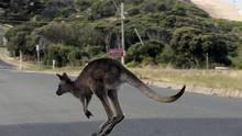 Kanguru Kaosu SAYFAYA GİT
