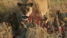 Das perfekte Löwen-Rudel Programm