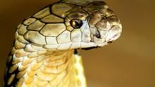 Secrets Of The King Cobra show