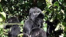 Das Gorilla-Massaker Programm