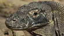 Komodowarane - Die Killer-Drachen Programm
