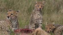 La fierté du Serengeti Voir la fiche programme