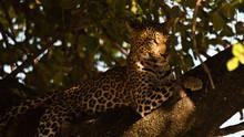 Die Leoparden von Dead Tree Island Programm