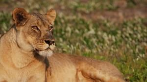 Die letzte Löwin