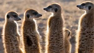 Clan of the Meerkats
