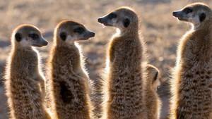 Clan of the Meerkats