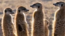 狐蒙家族 Clan Of The Meerkat 節目