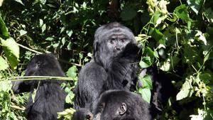 大猩猩謀殺案 Gorilla Murders