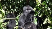 大猩猩謀殺案 Gorilla Murders 節目