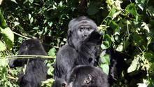 Убийства горилл программа