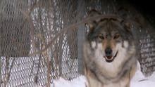 動物慌失失 Animal Fugitives 節目