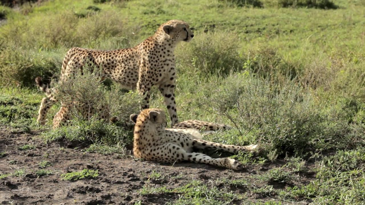 big cat wars lion vs cheetah national geographic channel asia