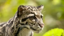 Clouded Leopard Rescue show