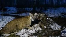 Cougars: Ninja of Jackson Hole show
