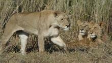 Swamp Lions show