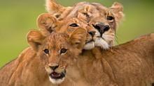 Das Schicksal einer Löwenfamilie Programm
