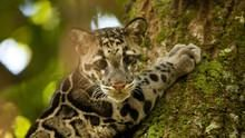 Clouded Leopards show