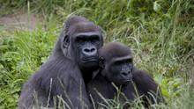 Ma vie avec les gorilles Voir la fiche programme