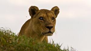Az utolsó oroszlánok