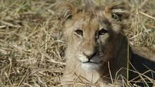 Болотные львы программа