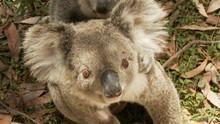 Koala Hospital show
