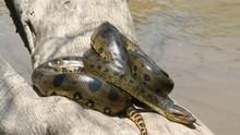 الأناكوندا ملكة الثعابين برنامج