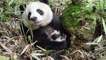 Chinas Riesen-Panda Programm