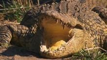 Nevelési tanácsok krokodiloknak film
