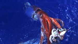 Der Riesenkalmar – Gigant der Tiefsee