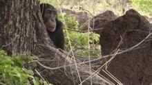 Schimpansen - Auf dem Weg zum Menschen? Programm