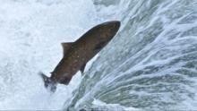 La guerre des saumons Voir la fiche programme