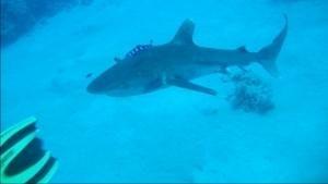 Hai-Alarm im Roten Meer