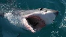 Sharkville show