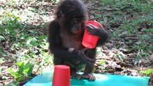 Ape Genius show