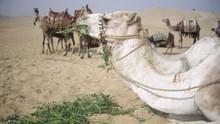 Camels, Courts & Concubines show