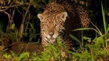 Schätze Brasiliens - Das Pantanal Programm