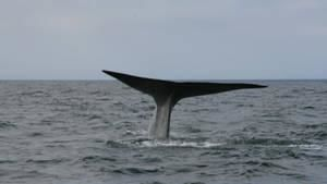 Blue Whale Odyssey