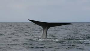 Balena albastră