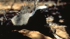 Honey Badger: The Meanest Animal in the World