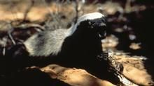 Honey Badger: The Meanest Animal in the World show
